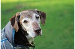 Magas vérnyomás kutyáknál - tünetek és tudnivalók