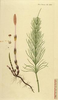 Mezei zsurló (Equisetum arvense) - GyógyfüvesKertem