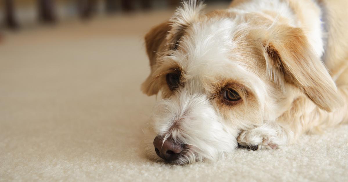 magas vérnyomás egy kutya tüneteiben