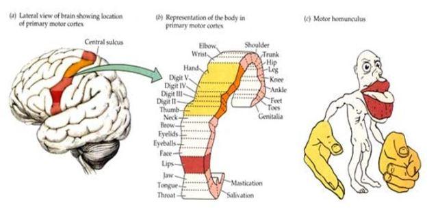 cortexin hipertónia a 2 fokú magas vérnyomás gyógyítható